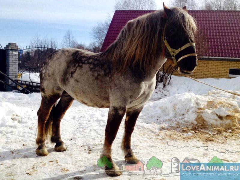 Явления породы. все о породе лошадей — советский тяжеловоз мордовский конезавод продажа лошадей