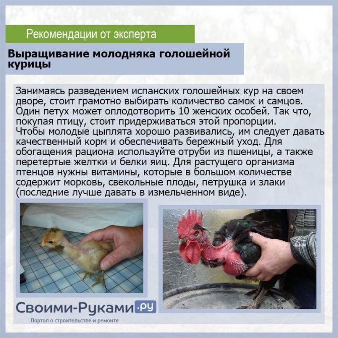 ✅ о курах голошейках: описание и характеристика, особенности бройлера - tehnomir32.ru