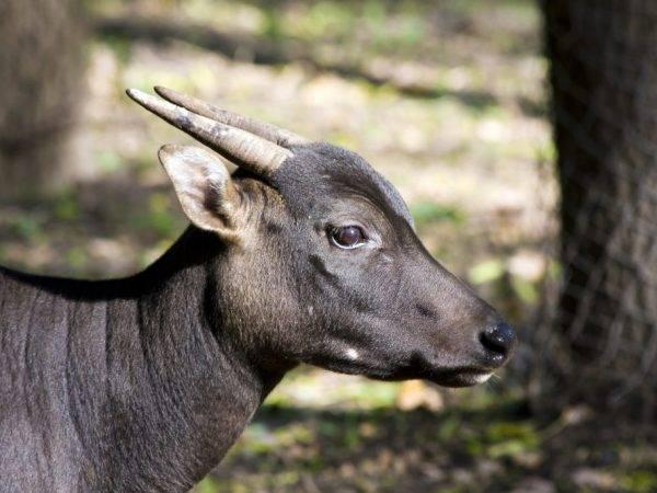 Карликовый буйвол (50 фото): маленький низкорослый с острова сулавеси