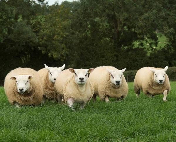 Молочные породы овец: описание и продуктивность