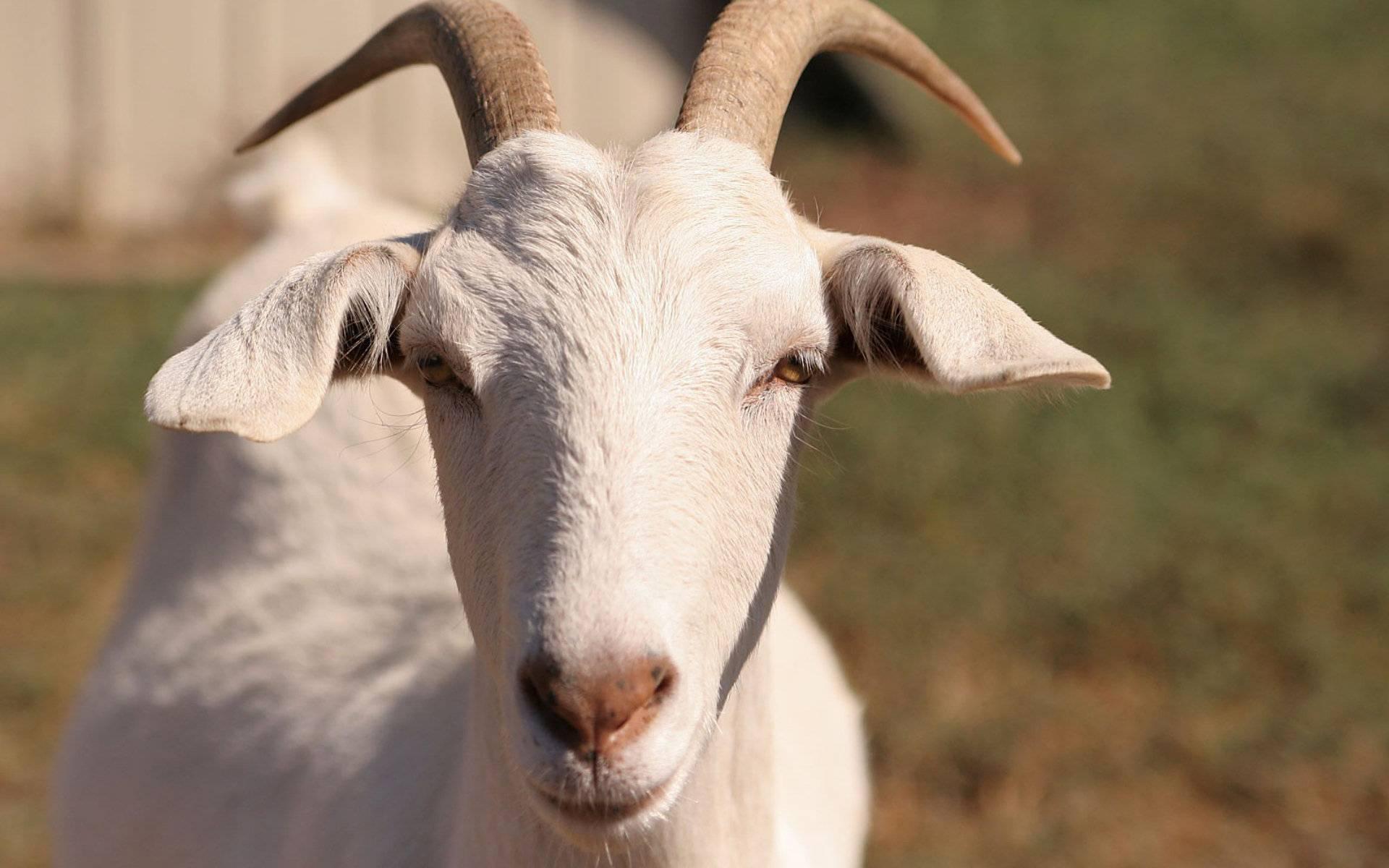 Разведение и содержание коз для начинающих — взгляд со всех сторон