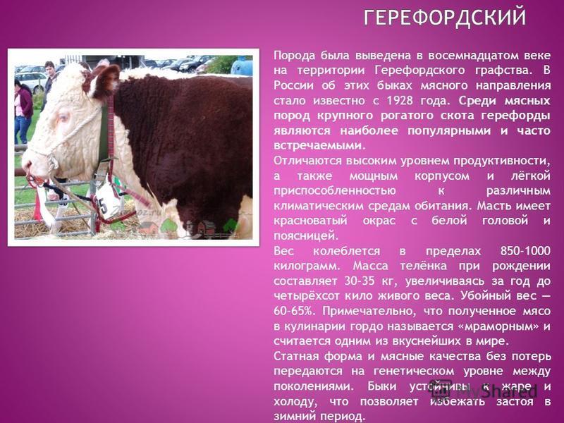 Телята и бычки абердин-ангусской породы: характеристики крс, фото коров — разведение, кормление нетели, откорм на мясо — moloko-chr.ru
