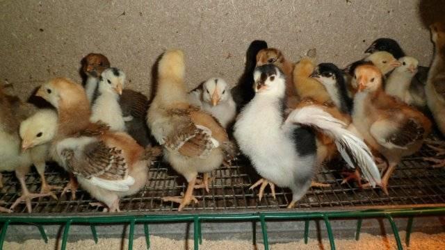 Пушкинская курица: есть на чем заработать