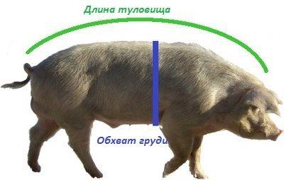 Как узнать вес свиньи: таблица замера и другие способы измерения