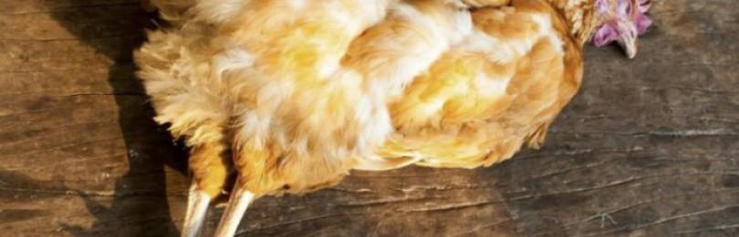 У курицы выпал яйцевод: что делать, причины и лечение, профилактика