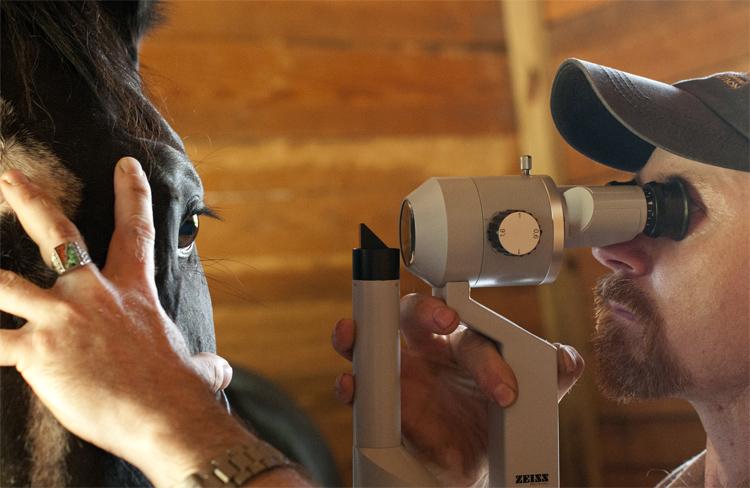 Зрение у лошади: обзор, фокусировка, острота, сетчатка глаза, фото