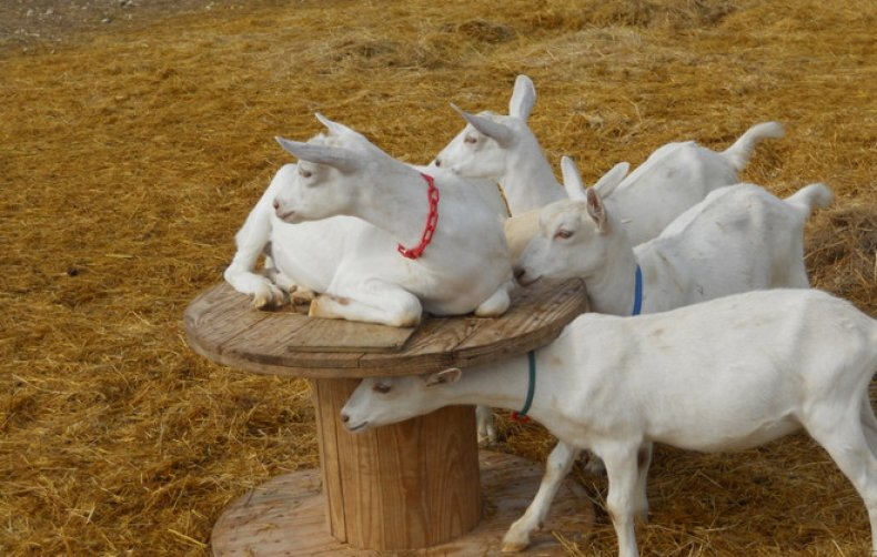Содержание коз в домашних условиях: советы для начинающих