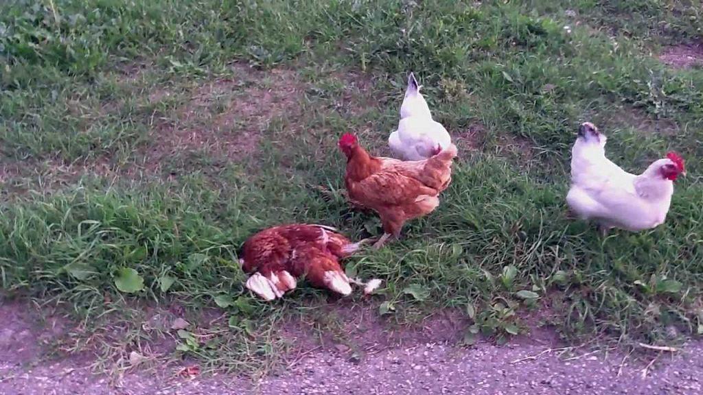 Как отучить цыплят клевать друг друга?