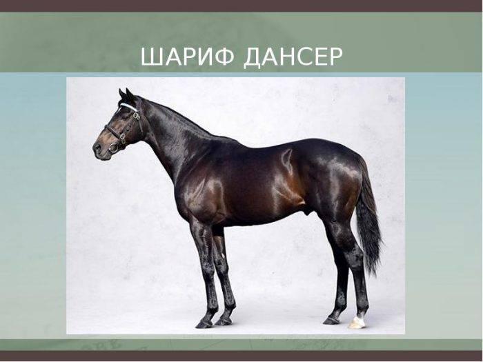 Самая дорогая лошадь в мире: фото и видео лучших пород коней