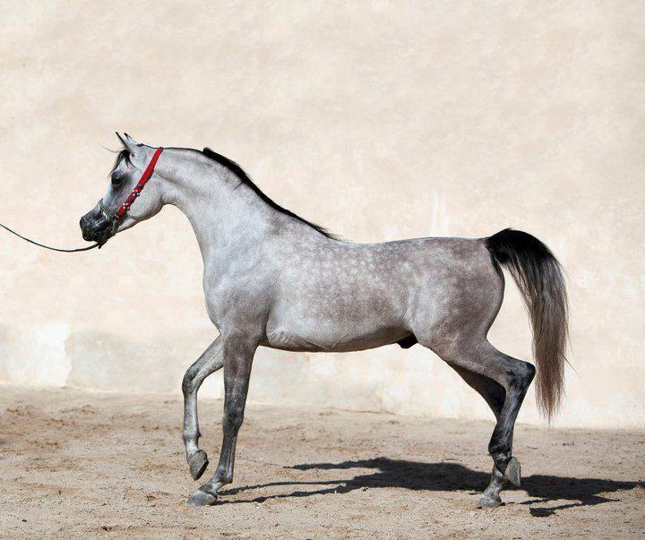 Арабская чистокровная порода лошадей: фото, характеристика