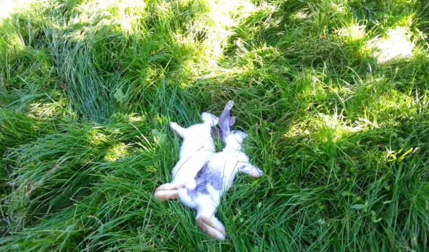 Почему умирают кролики?