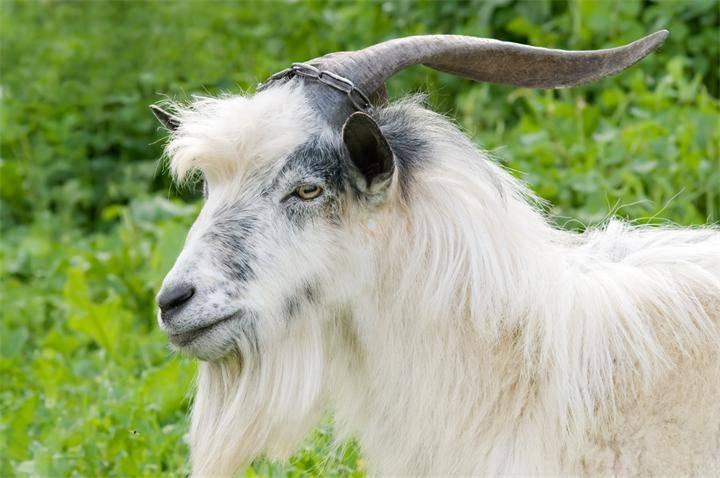 Особенности разведения коз в домашних условиях для начинающих