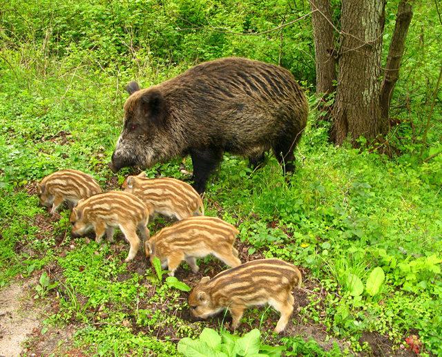✅ все о декоративных карликовых свиньях: описание пород, особенности - tehnomir32.ru