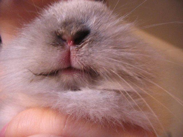 Инфекционный стоматит у кроликов: симптомы, возможные последствия, лечение и профилактика