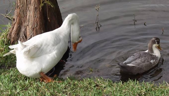 Чем отличается самец от самки. фото селезня и утки