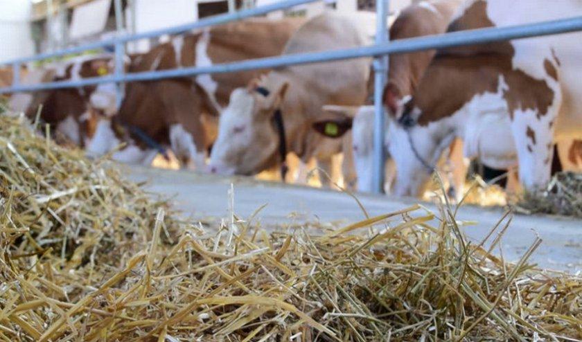 ✅ сколько сена съедает корова, бык и теленок за день, сутки, зиму, год - tehnomir32.ru