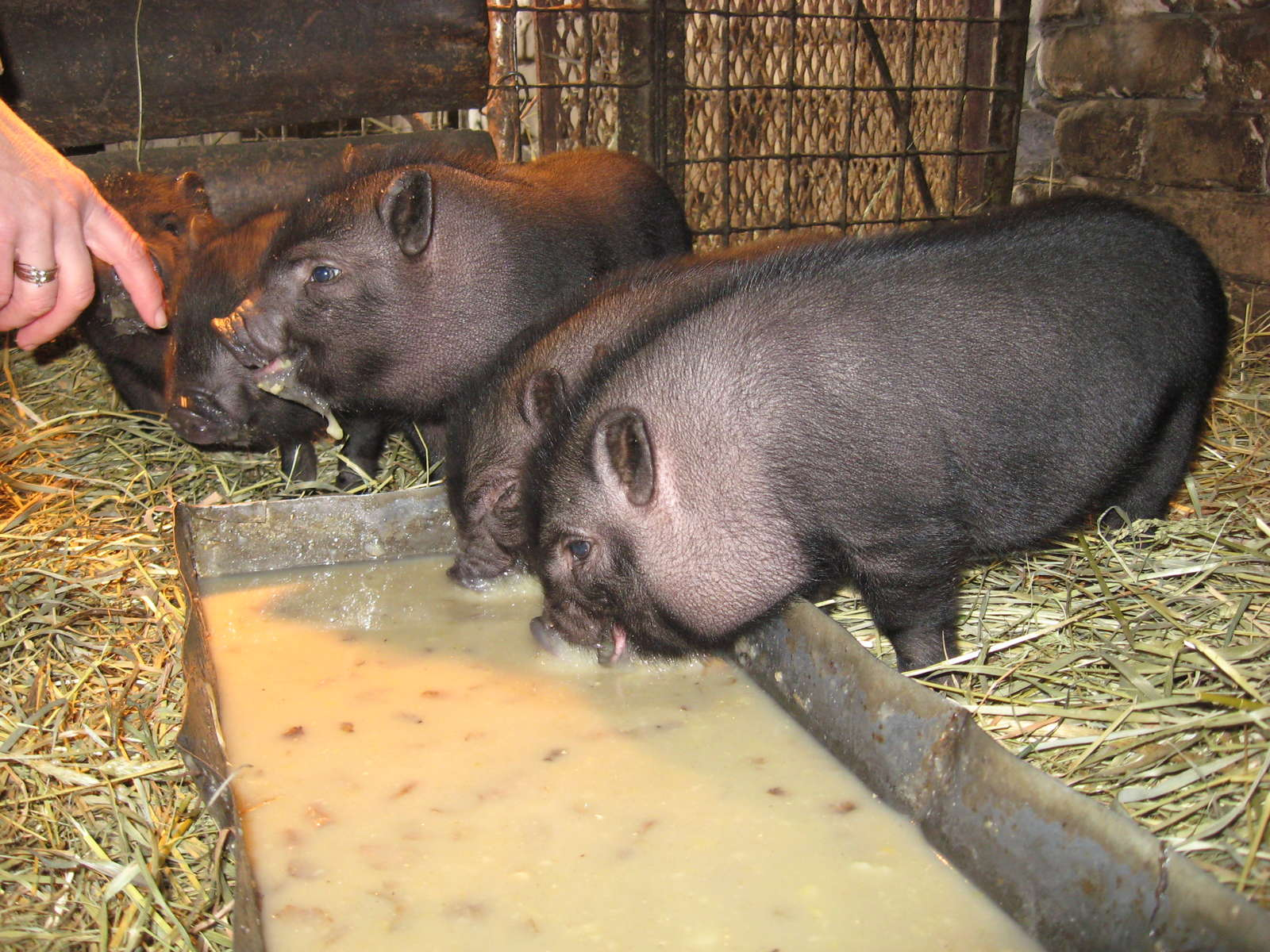 Вьетнамские свиньи разведение уход питание - подробная информация!