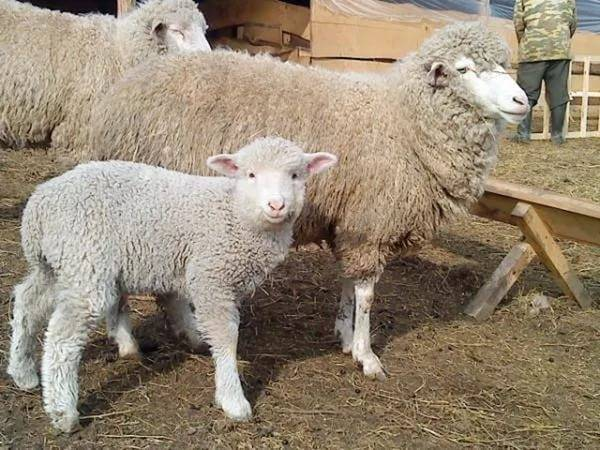 Овцеводство и козоводство россии