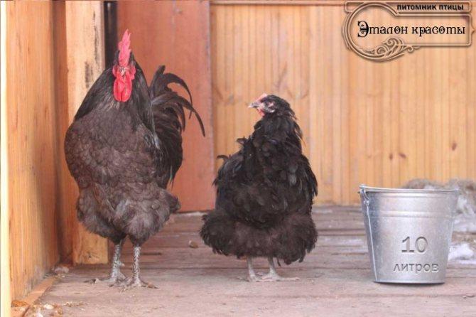 Джерсийский гигант: описание породы кур