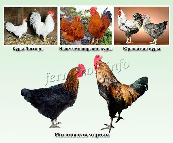 Куры московская черная: содержание, описание, фото, отзывы