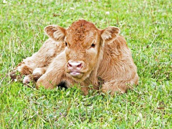 Информация о плюшевых, пушистых, волосатых, мохнатых породах коров