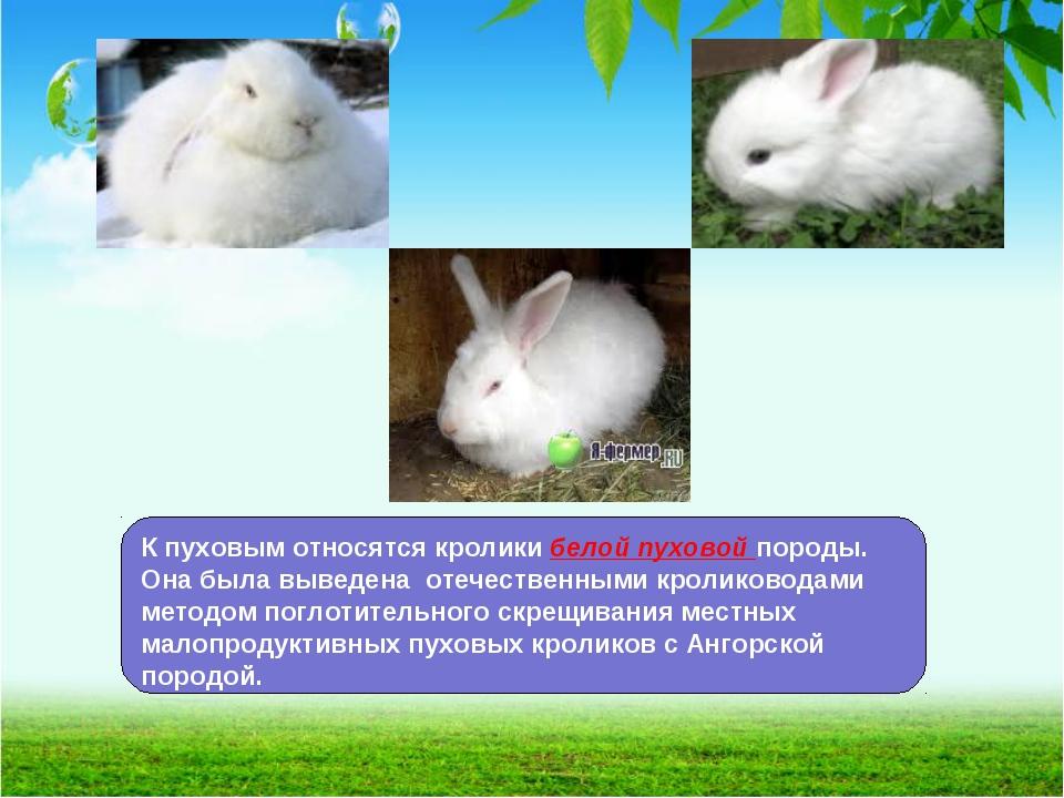 Кролики породы полтавское серебро: особенности разведения в домашних условиях