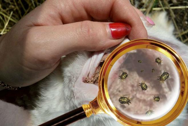 Ушной клещ у кроликов: лечение в домашних условиях препаратами и народными средствами