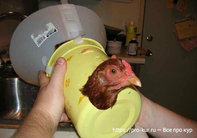 У курицы выпал яйцевод что делать