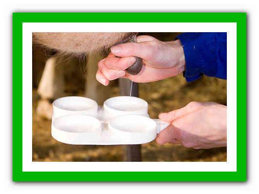Мастит у коровы лечение в домашних условиях народными средствами