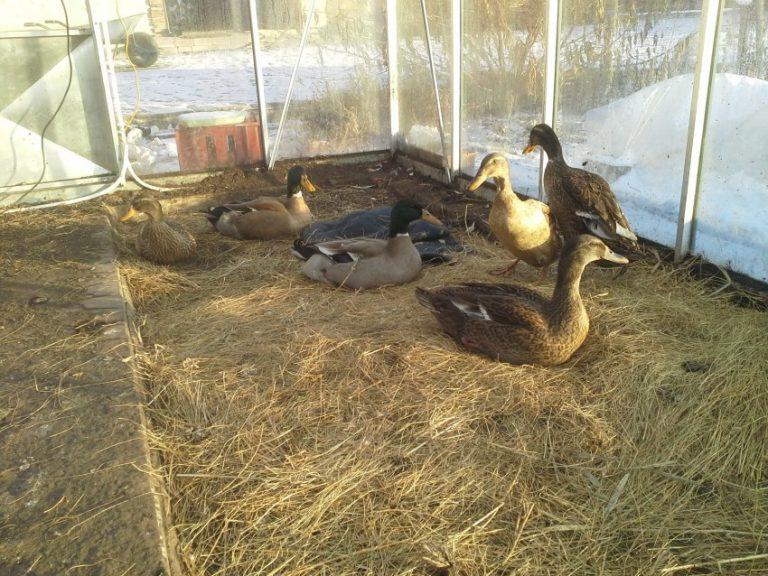 Разведение уток в домашних условиях для начинающих птицеводов