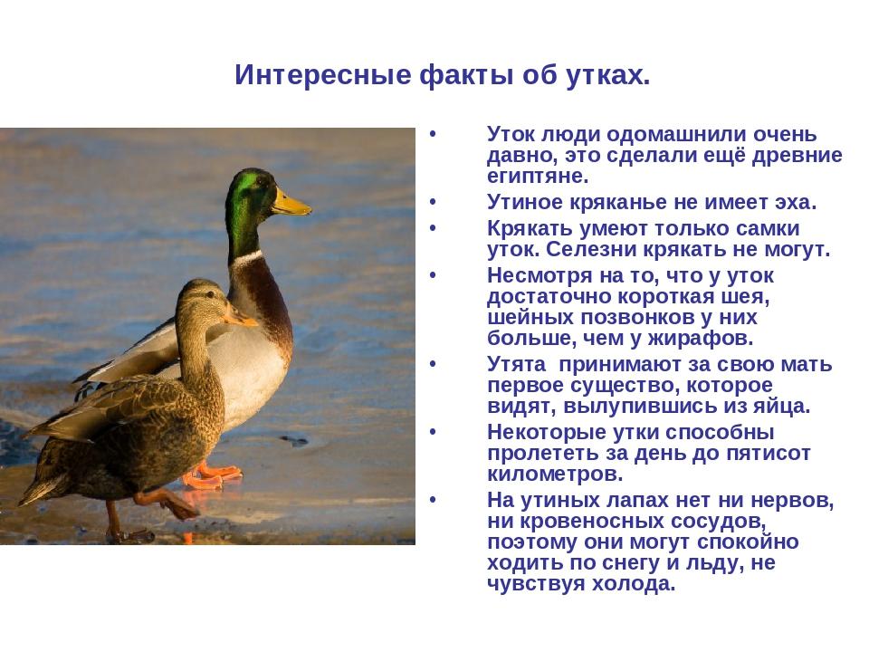 ✅ все об индоутках: описание породы, разновидности, характеристики, выращивание - tehnomir32.ru