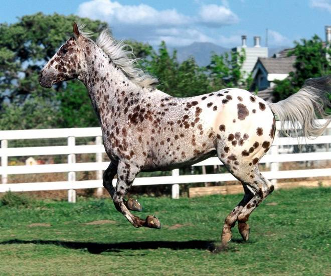 Уникальная пятнистая масть лошади — пегая