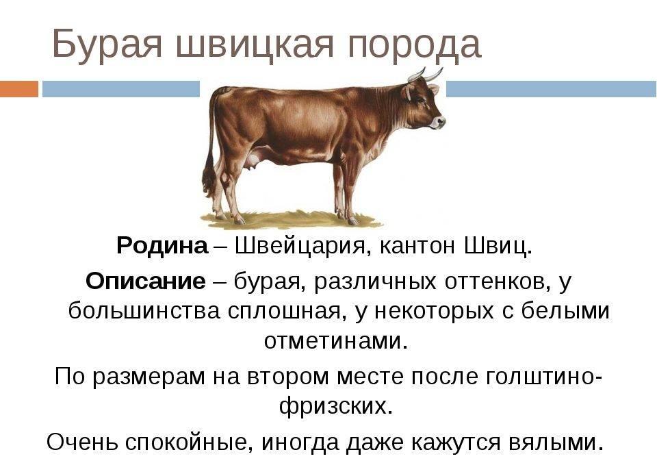 Швицкая корова: условия и перспективы разведения — cельхозпортал