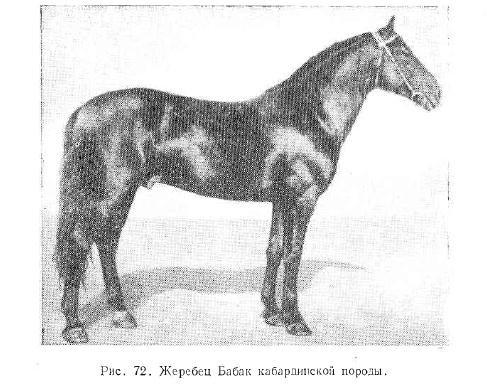 Кабардинская порода лошадей: ее обзор, видео и фото