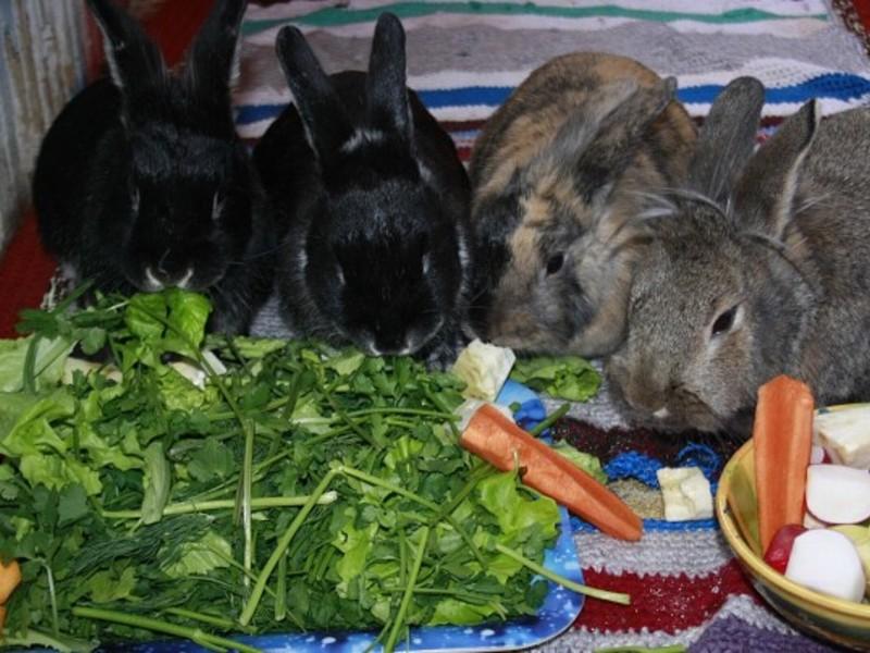 Чем кормить кроликов – правильный рацион, рекомендации