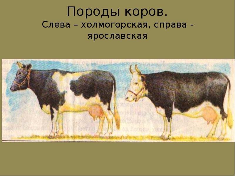 Холмогорская порода коров: характеристика, фото, описание, отзывы
