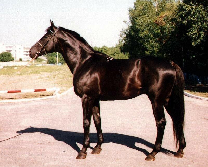 Кабардинская порода лошадей: история, описание, фото