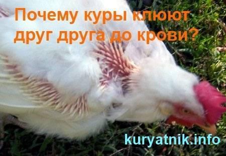 Что делать, если цыплята клюют друг друга до крови?