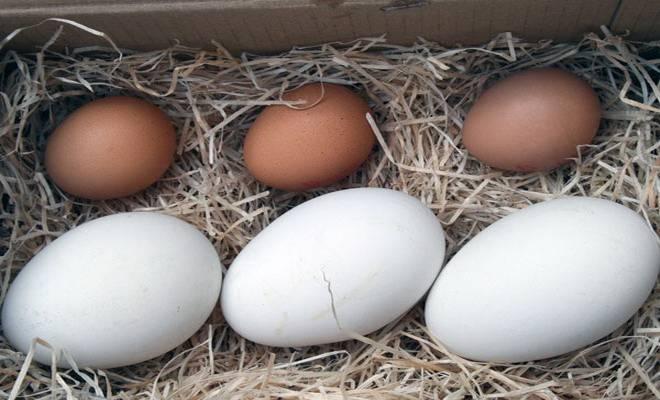 ✅ в каком возрасте гуси начинают нести яйца: как часто несутся в домашних условиях - tehnomir32.ru