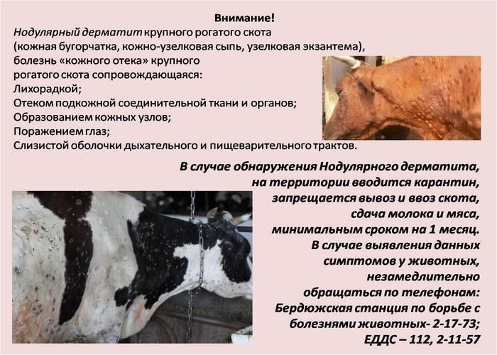Нодулярный дерматит крупного рогатого скота, опасен для человека?