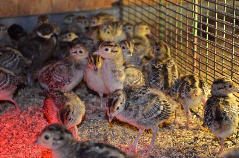 Как правильно содержать фазанов - разведение и содержание фазанов - птицеводство - собственник