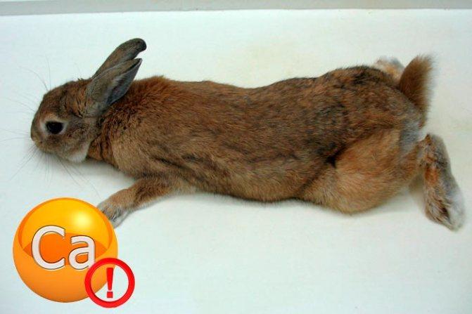 Болезни лап у кроликов, причины их возникновения и лечение 2020