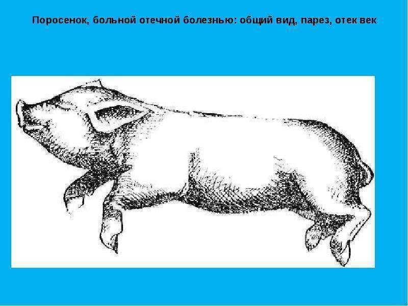 Болезни свиней: виды заболеваний, симптомы, лечение