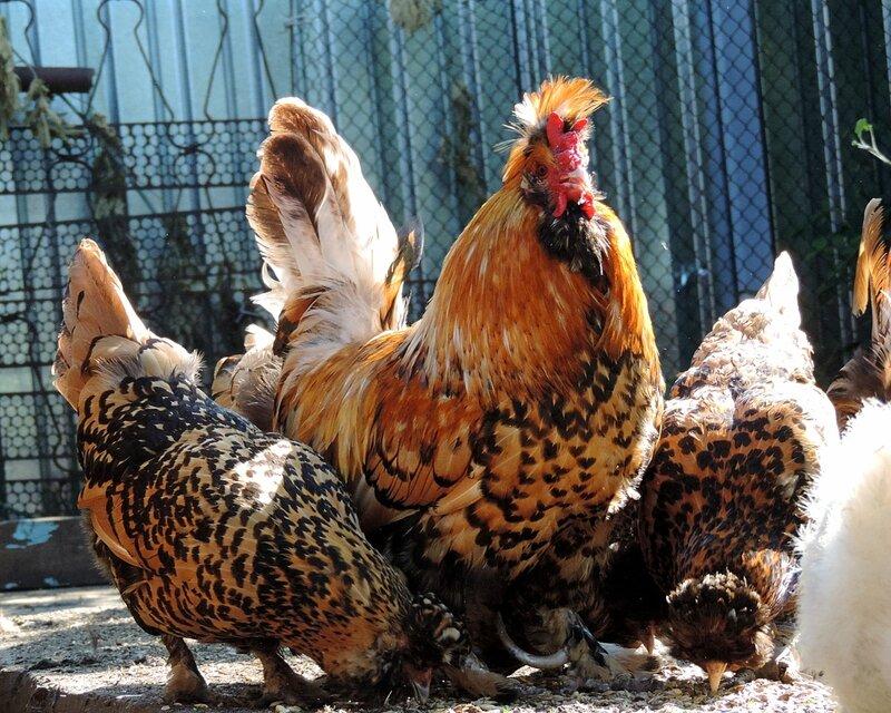 Породы кур - основные породы курей с фото и описанием: мясные и несушки