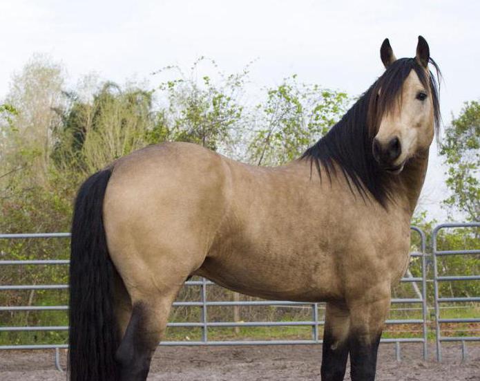 Чалая масть лошади: описание и фото масти | мои лошадки