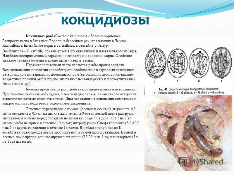 Кокцидиоз у кур: причины, симптомы, лечение, профилактика
