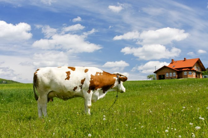 Сколько сена корове: сколько килограмм или тонн нужно на сутки и месяц зимой, как давать гранулы люцерны и таблица на год об этом