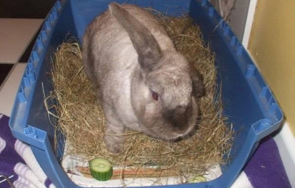 Можно ли давать кроликам (обычным и декоративным) свежие огурцы, едят ли и в каких количествах?