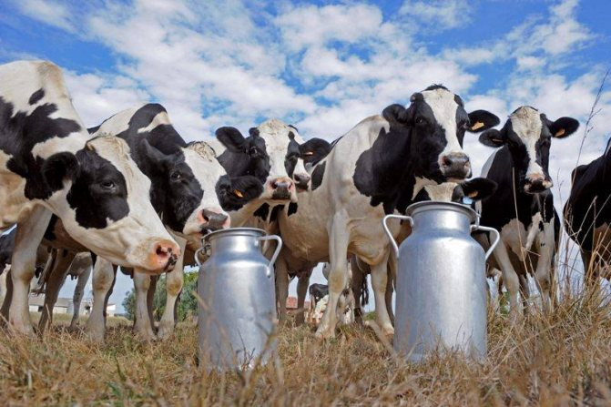Как корова дает молоко круглый год