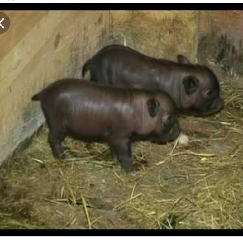 Всё о вьетнамских свиньях. разведение, кормление, уход в домашних условиях
